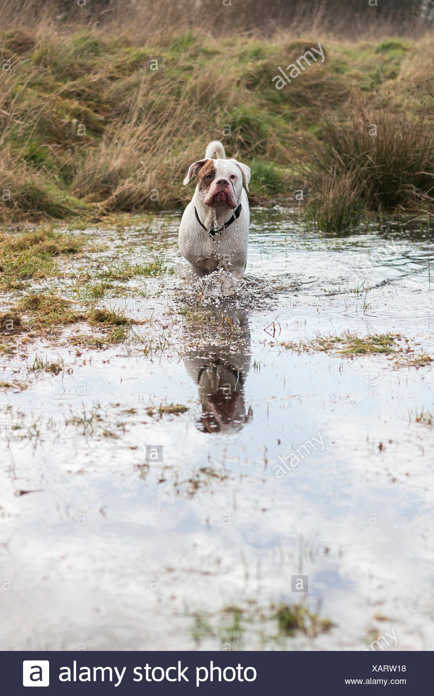 UK, England, Midlands, Staffordshire, Stone, Bulldog standing in pond - Stock Image