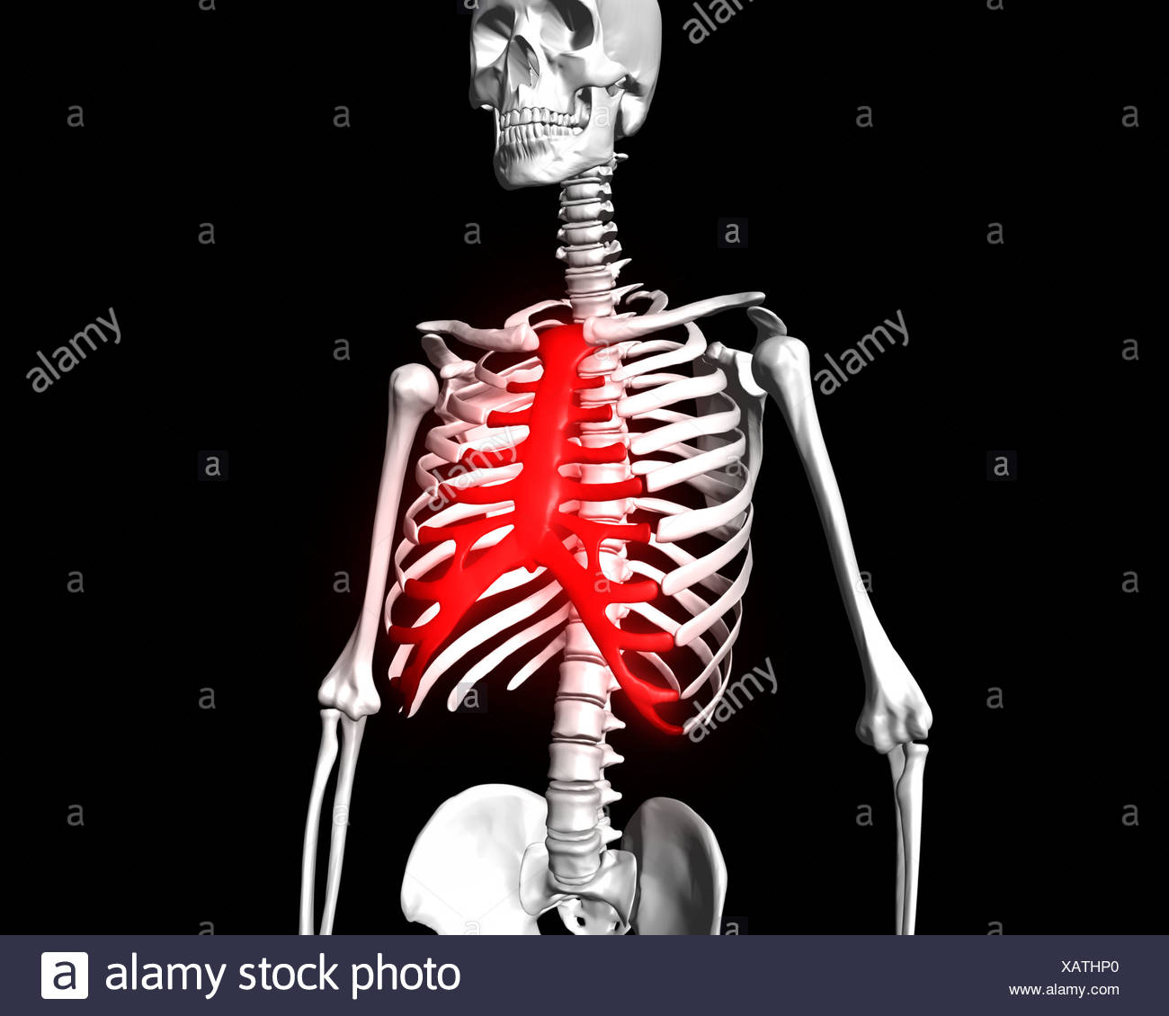 Sternum Highlighted Red On Human Skeleton Stock Photo 282053240 Alamy