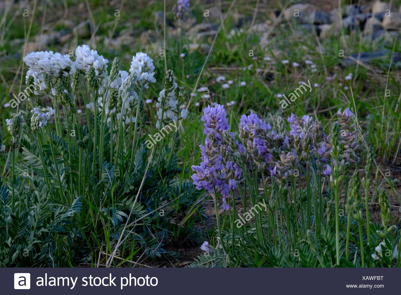 Lavender And White Wild Flowers Grow Along The Roadside In Rocky
