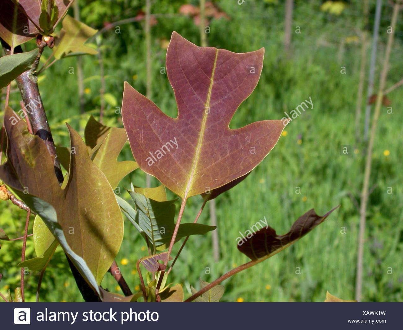Tulip Tree Leaf Stock Photos & Tulip Tree Leaf Stock Images - Alamy