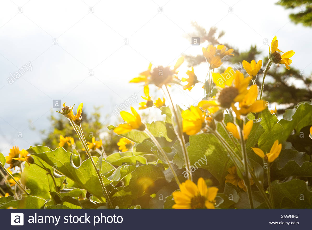 Yellow flowers, close up - Stock Image