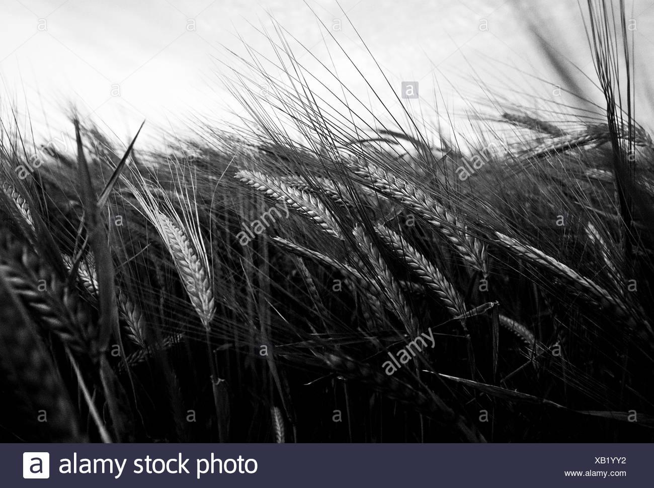 Close up of barley field - Stock Image