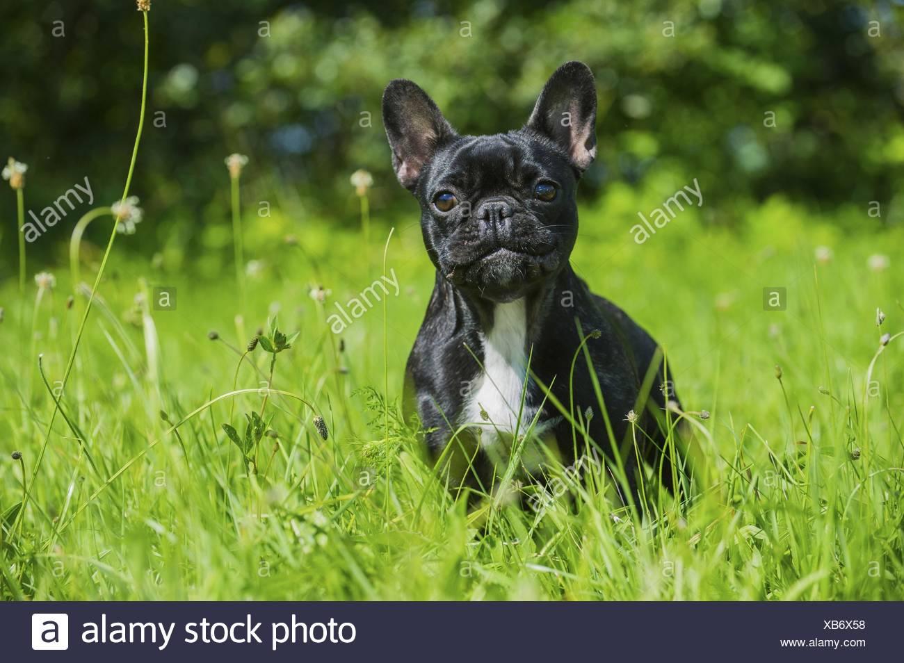 sitting French Bulldog - Stock Image