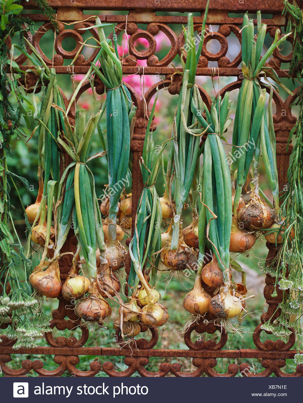 How to dry the onions