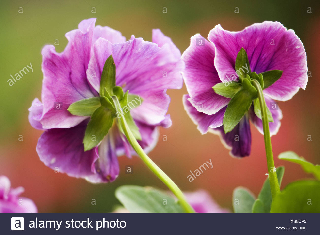 Two pink pansy flowers viola stock photos two pink pansy flowers two dark pink pansy flowers viola x wittrockiana stock image mightylinksfo Choice Image