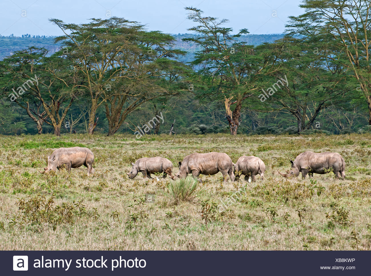 Five White rhinos grazing in grassland backed by acacia woodland in Lake Nakuru National Park Kenya East Africa - Stock Image