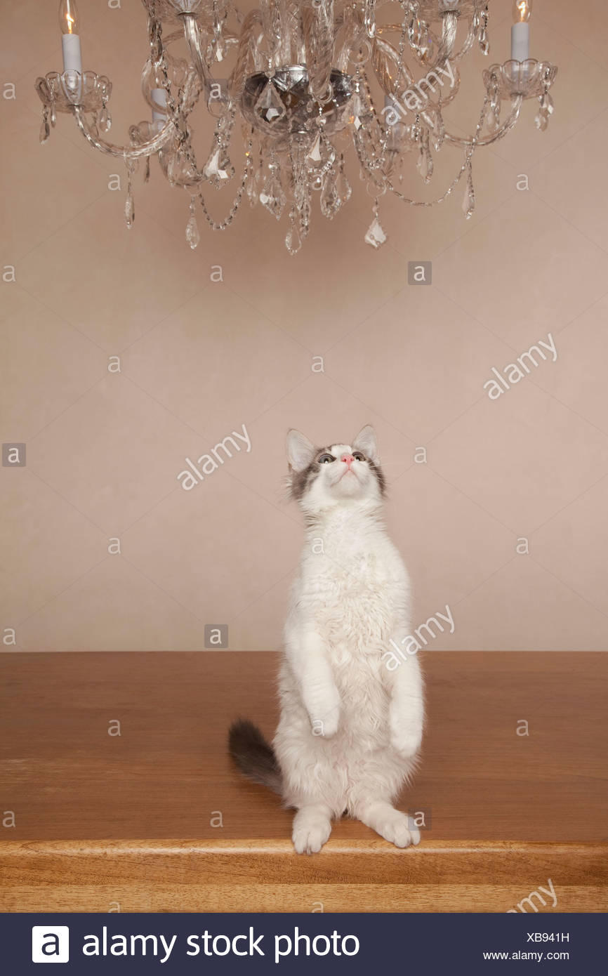 A cat under a chandelier, on its haunches looking upwards. - Stock Image