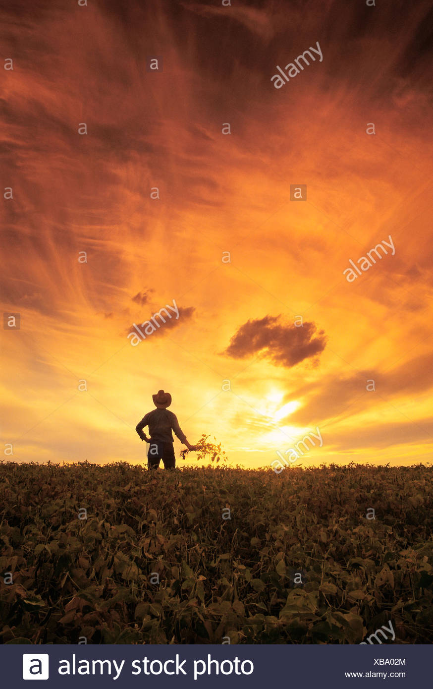 a farmer look out over his maturing soybean crop, near Lorette, Manitoba - Stock Image