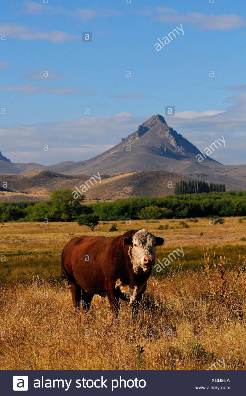 Bull  in Patagonia - Stock Image