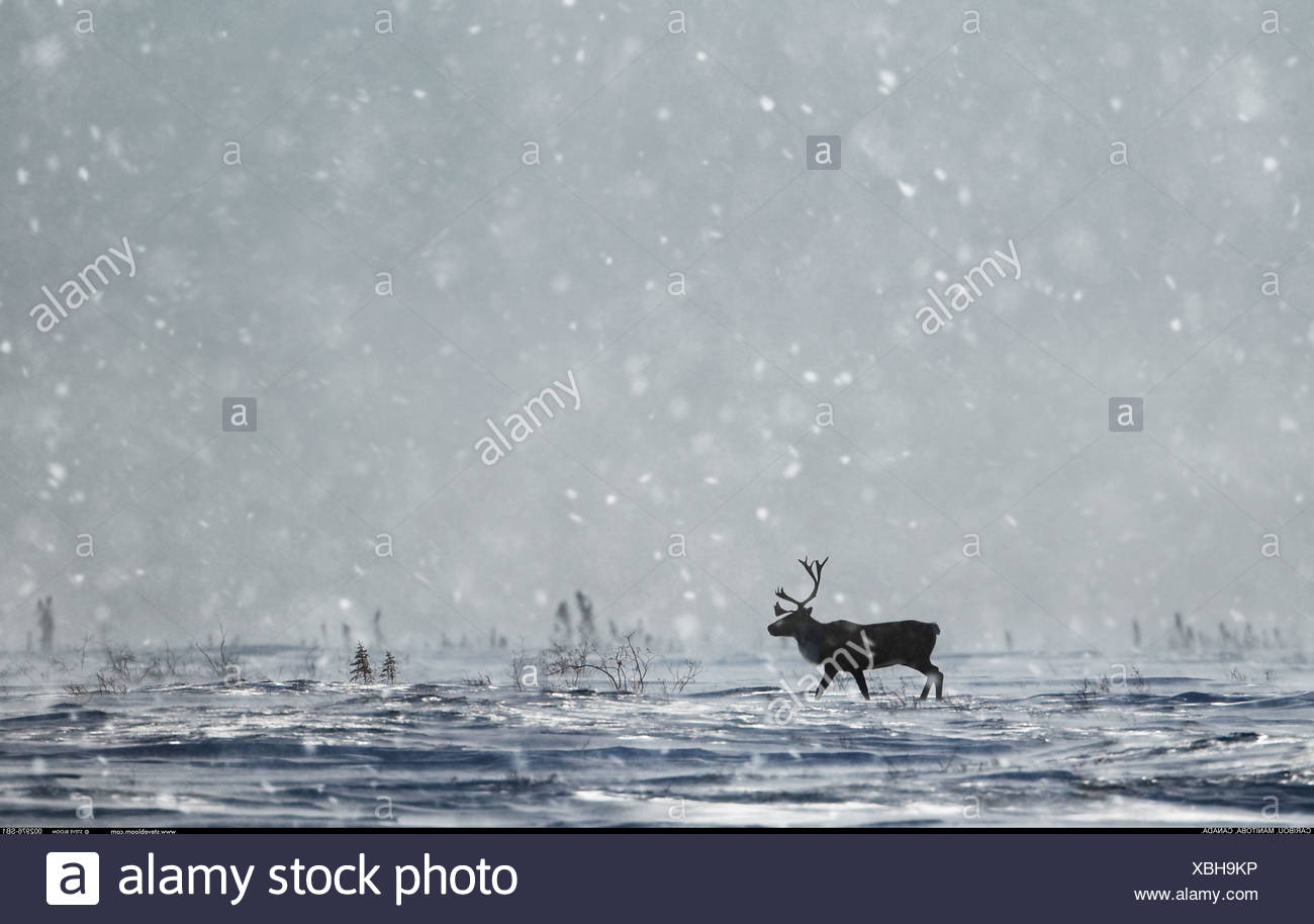 Caribou in the snow Manitoba Canada - Stock Image