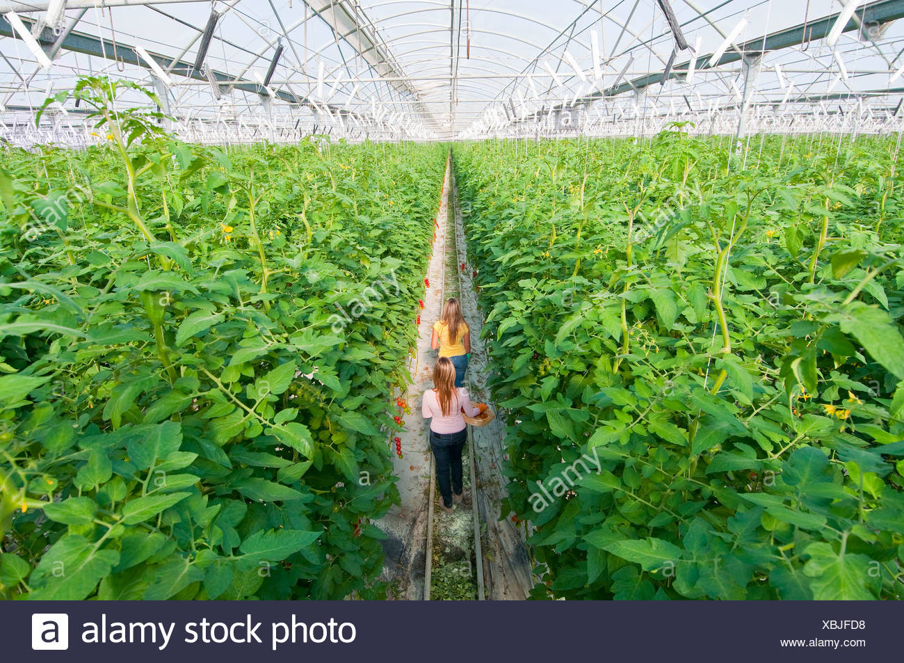 two workers in huge greenhouse - Stock Image