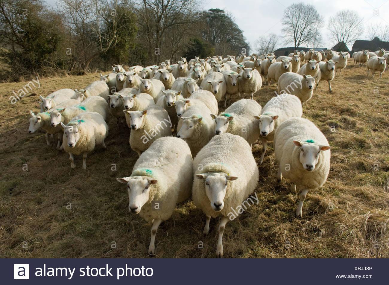 Flock of sheep - Stock Image