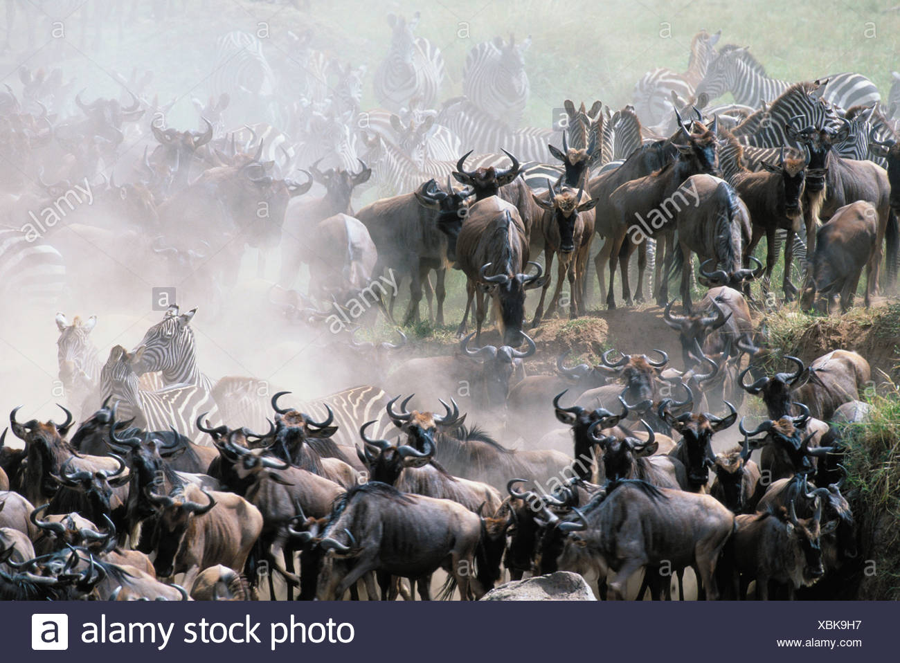 Migrating animals congested at the edge of the Mara River - Stock Image