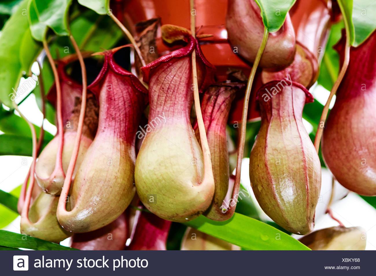 carnivorous carcass nepenthes alata - Stock Image
