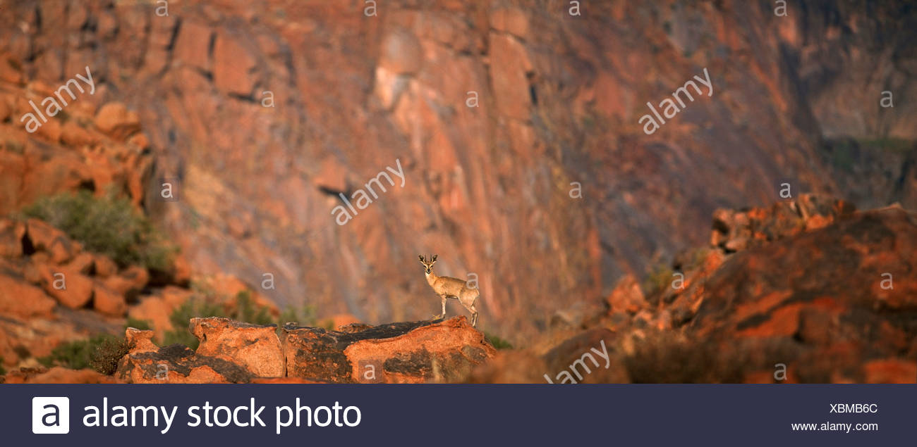 Distant view of Klipspringer (Oreotragus oreotragus) standing on rock, Karoo National Park, Western Cape Province, South Africa - Stock Image