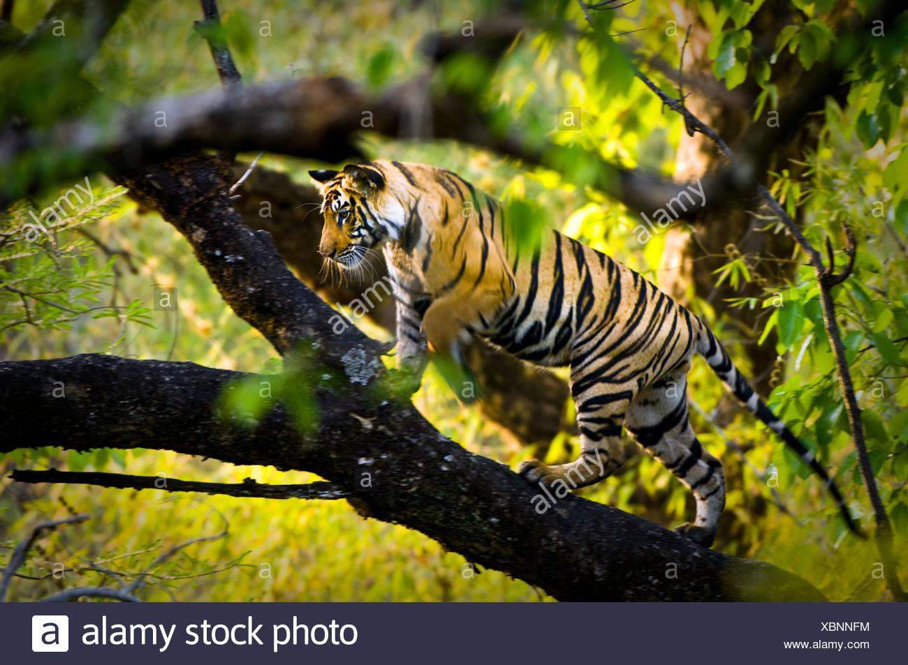 Adolescent male Bengal Tiger (around 15 months) climbing a tree. Bandhavgarh NP, Madhya Pradesh, India. - Stock Image