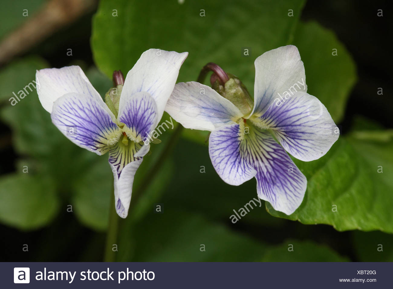 White Violet Flower Meaning Images Flower Decoration Ideas