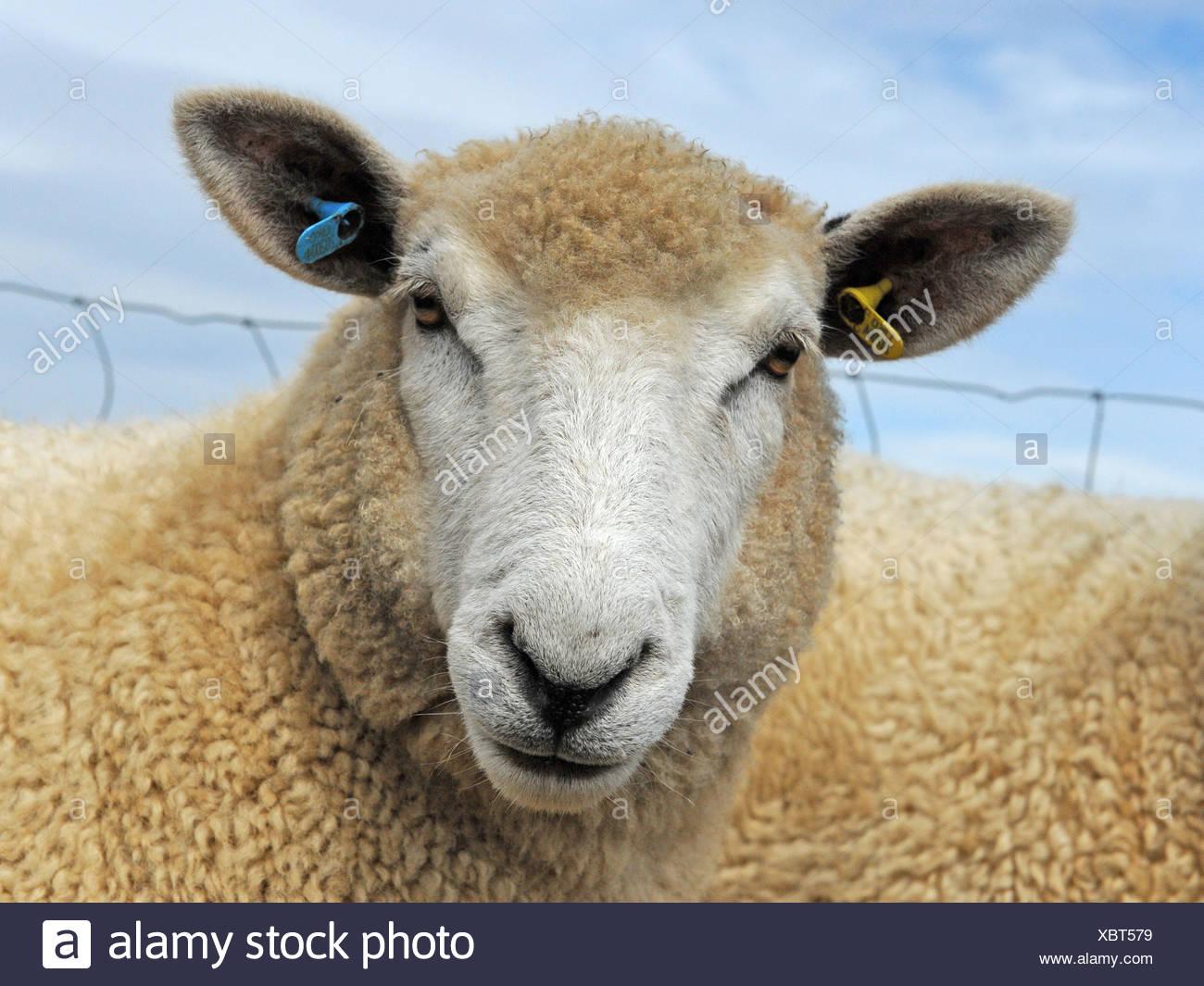 An angry looking sheep with light brown fleece - Stock Image