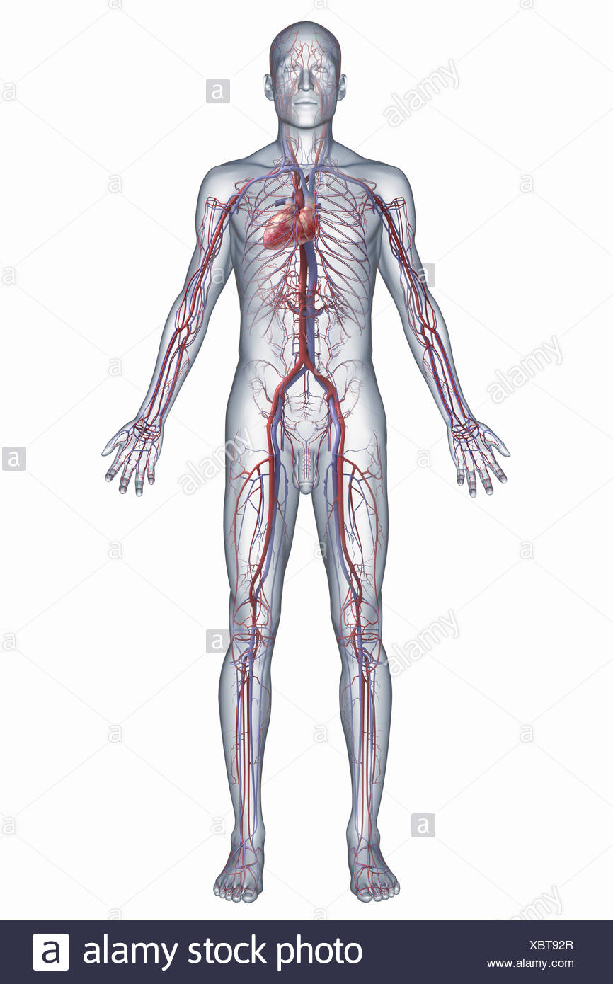 A Representation Of The Human Cardiovascular System Including The