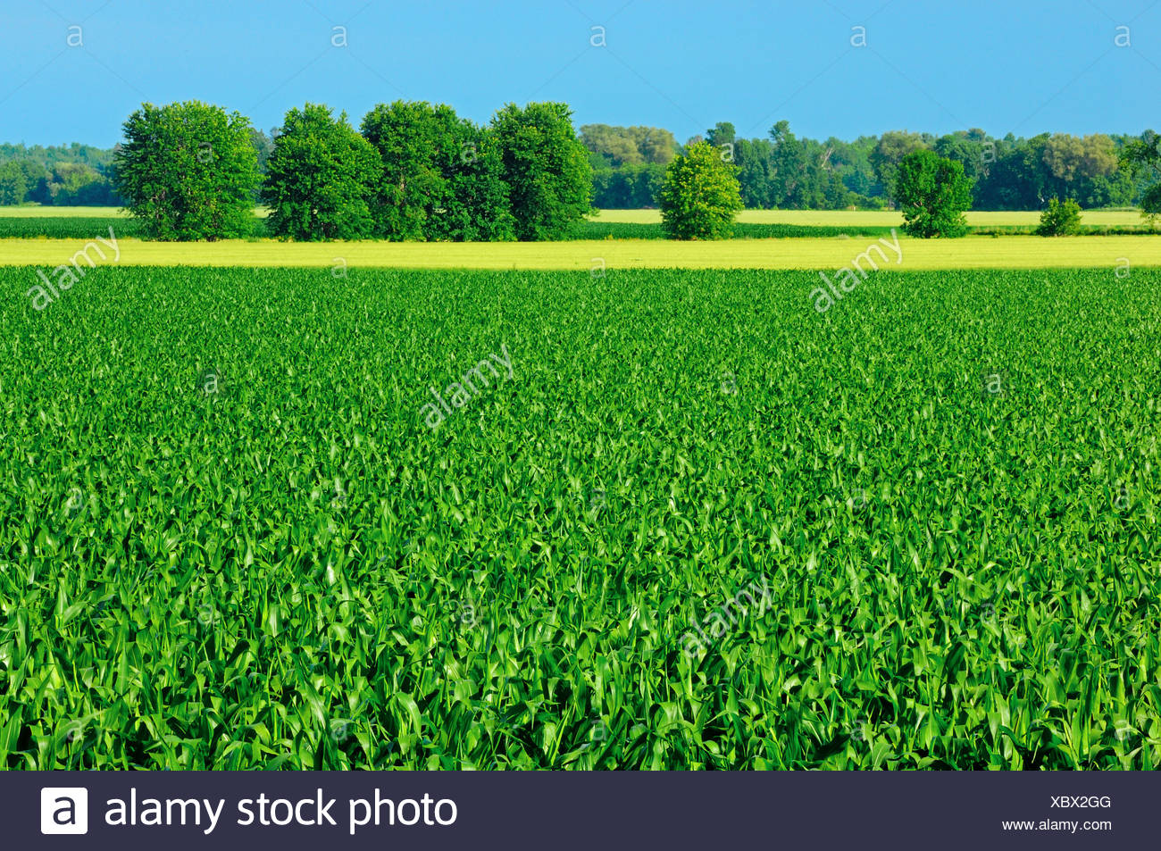 Agriculture - Mid growth pre-tassel grain corn fields / near Riceville, Ontario, Canada. - Stock Image