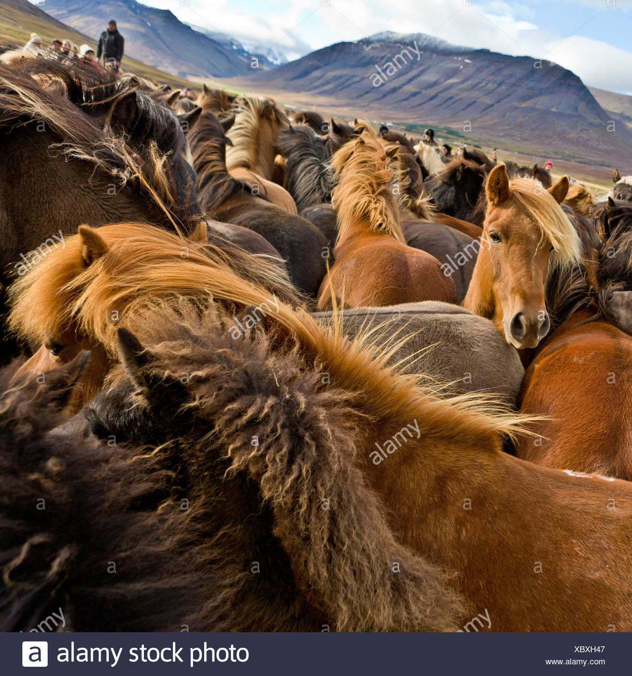Annual Horse Round Up-Laufskalarett, Skagafjordur, Iceland Farmers keep up a long tradition of letting their horses roam around freely in the commons during the summer, Every autumn horses are rounded up and sorted, - Stock Image