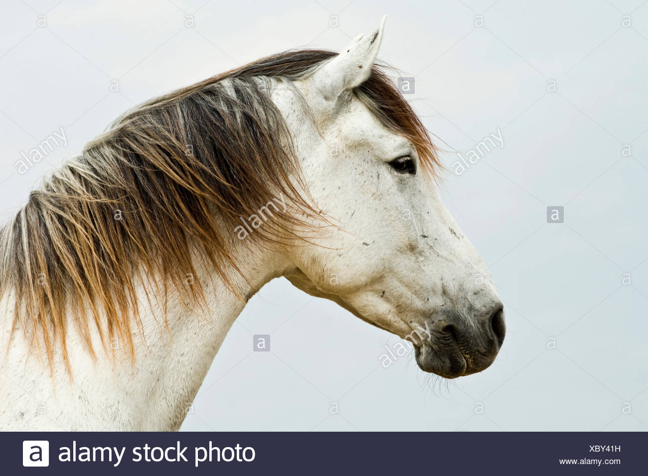 Lusitano horse, gelding, white horse, Andalusia, Spain - Stock Image