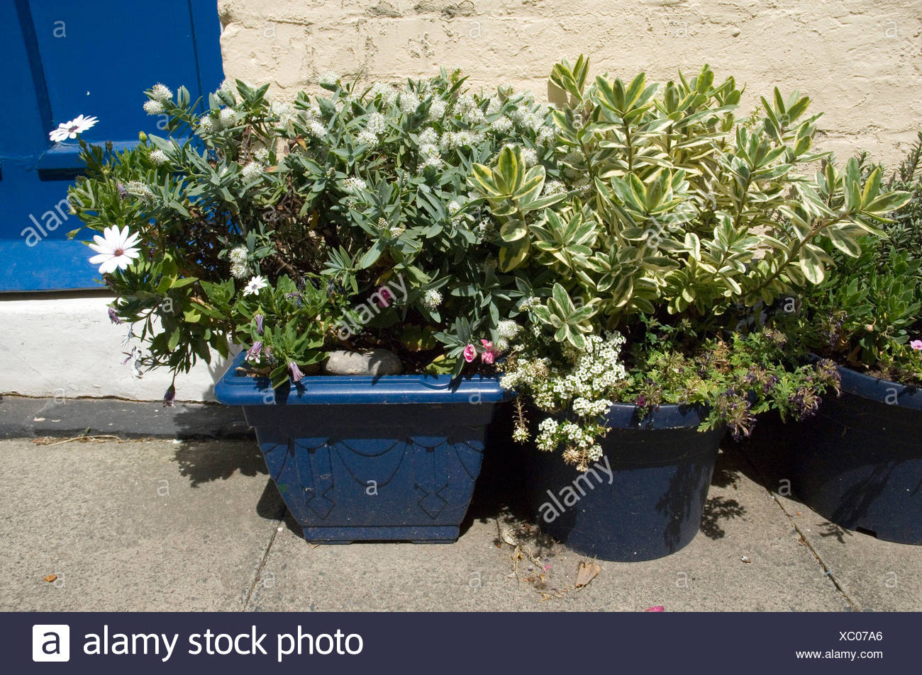 Blue plant pots containing a variegated leafy plant and a bushy blue plant pots containing a variegated leafy plant and a bushy plant with white flowers outside a front doorstep mightylinksfo