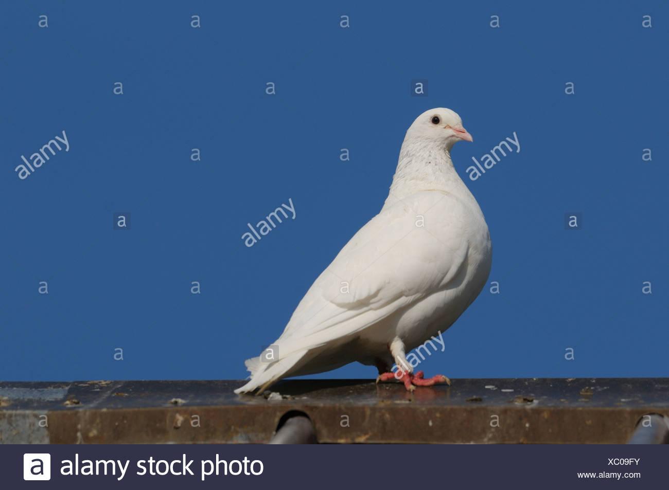 white dove - Stock Image