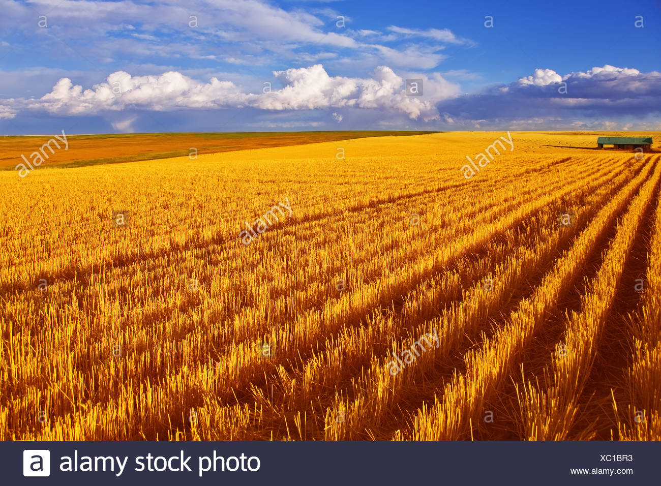 Huge field in state Montana - Stock Image