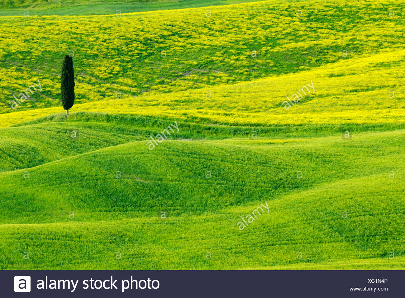 Italian cypress (Cupressus sempervirens), Green and Hilly Farmland with Cypress, Val d' Orcia, San Quirico d' Orcia, Italy, Tuscany - Stock Image