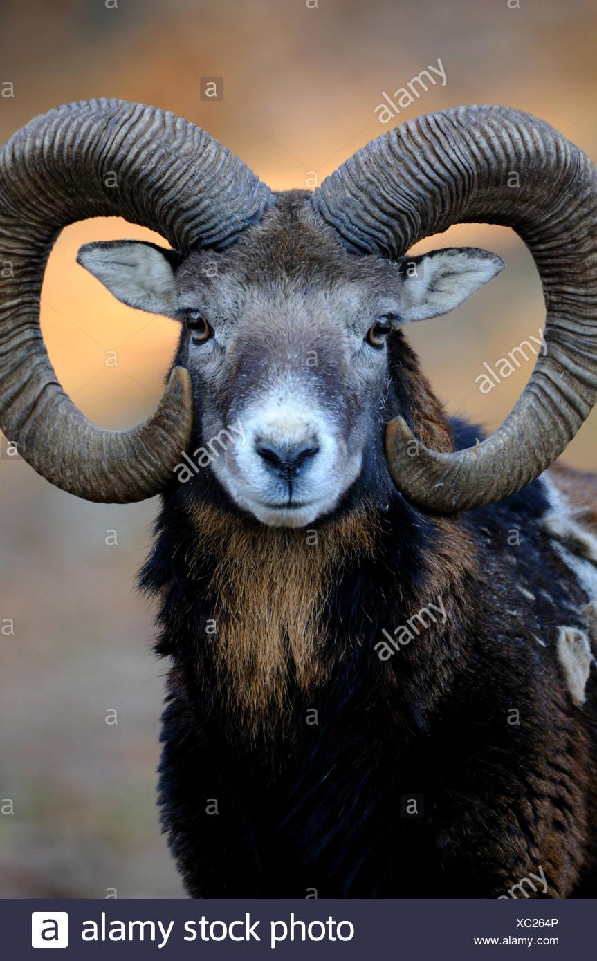 Mufflon ram mountain sheep Ovis ammon musimon winter coat sheep wild sheep goat-antelopes horn horns Mufflons animal animals, - Stock Image