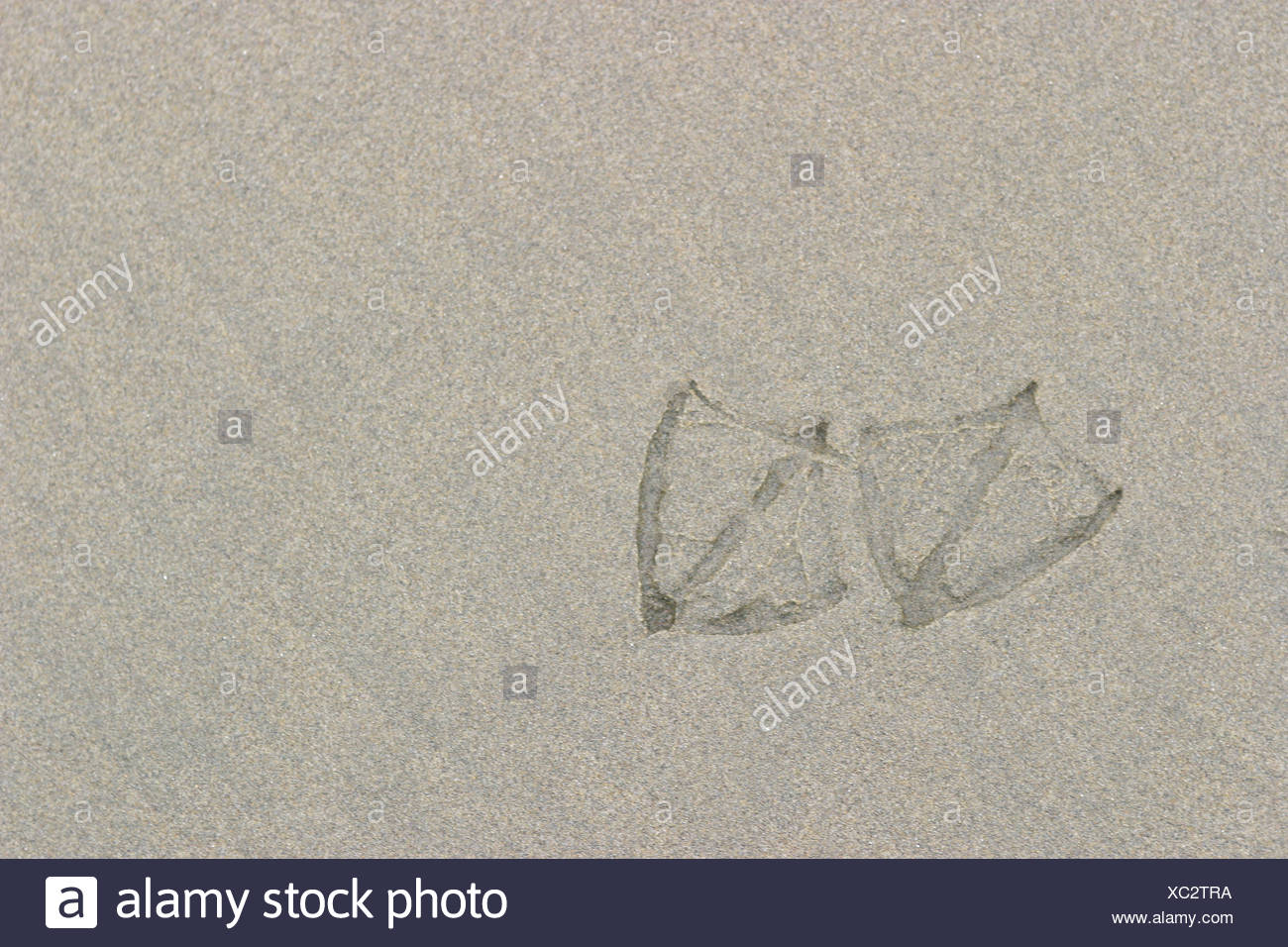 Footprints on the beach left by a gull in Tofino, British Columbia, Canada. - Stock Image