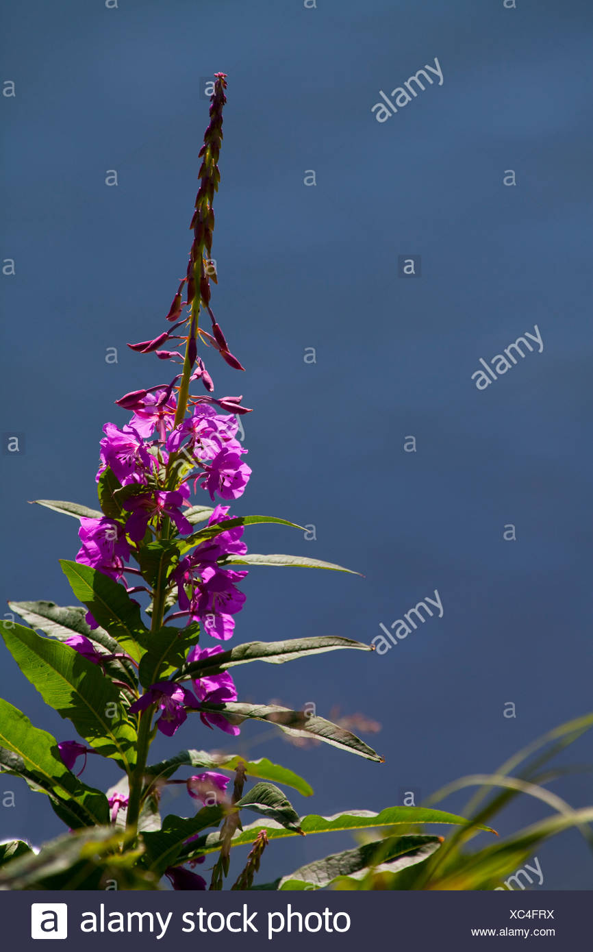Fireweed blooms near Chiniak Bay, Kodiak Island, Southwest Alaska, Summer - Stock Image