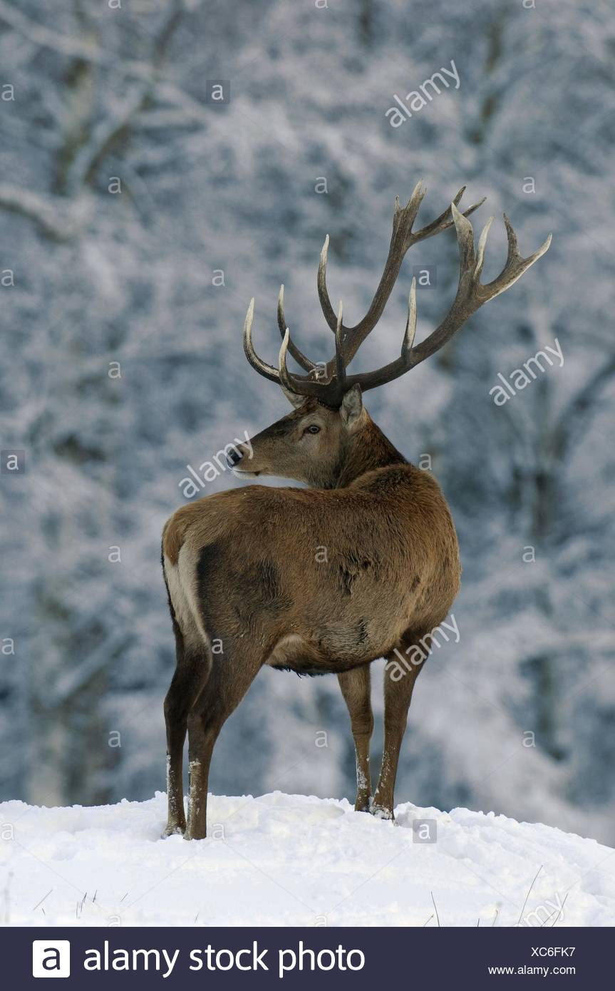 stag - Stock Image