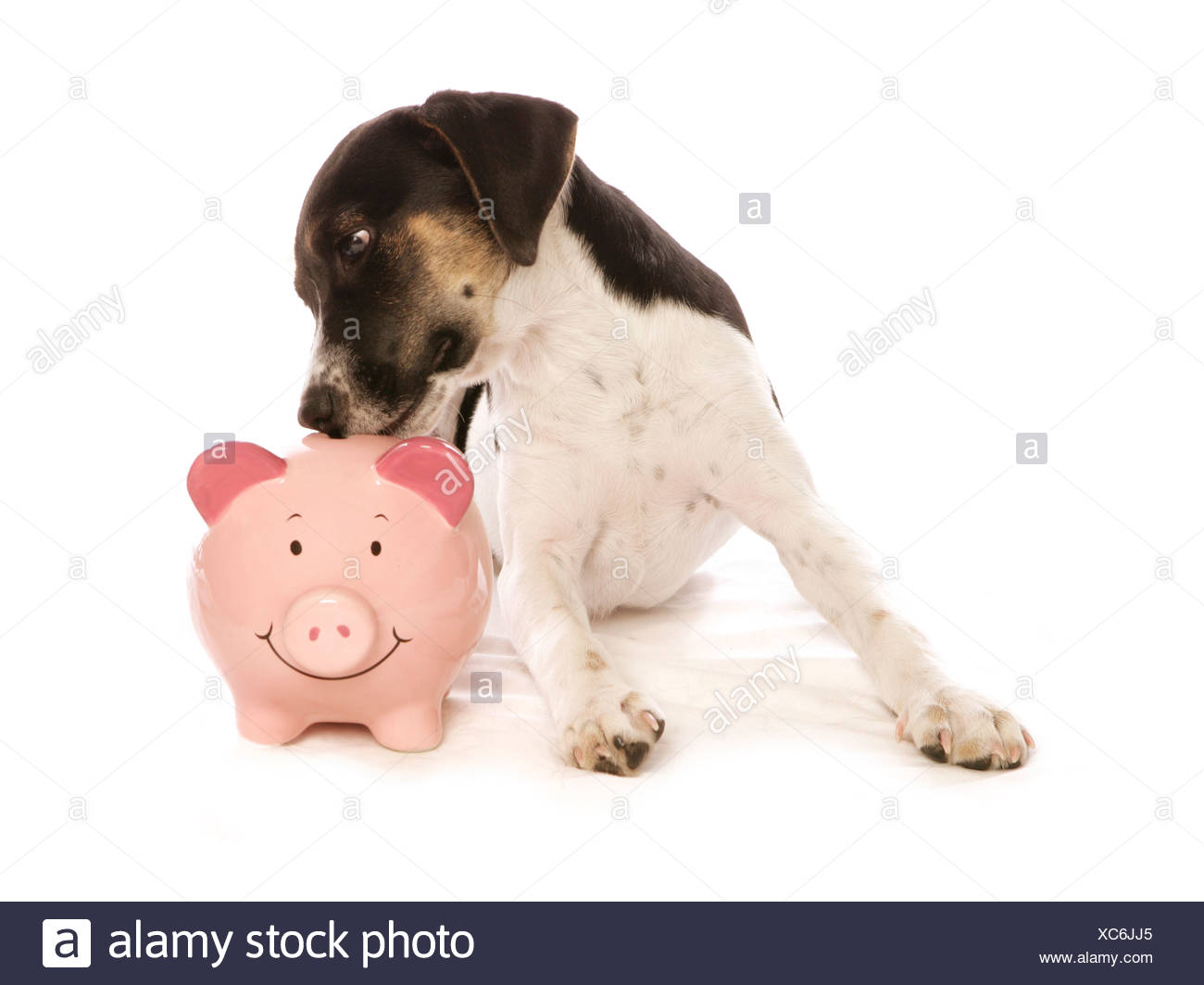 Young Jack Russell Terrier Dog With Piggy Bank Stock Photo
