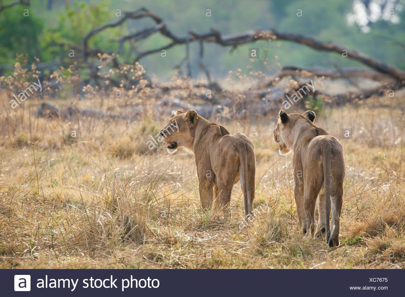Lion (Panthera leo), two lionesses roam their territory, Kasane, Chobe National Park, Botswana - Stock Image