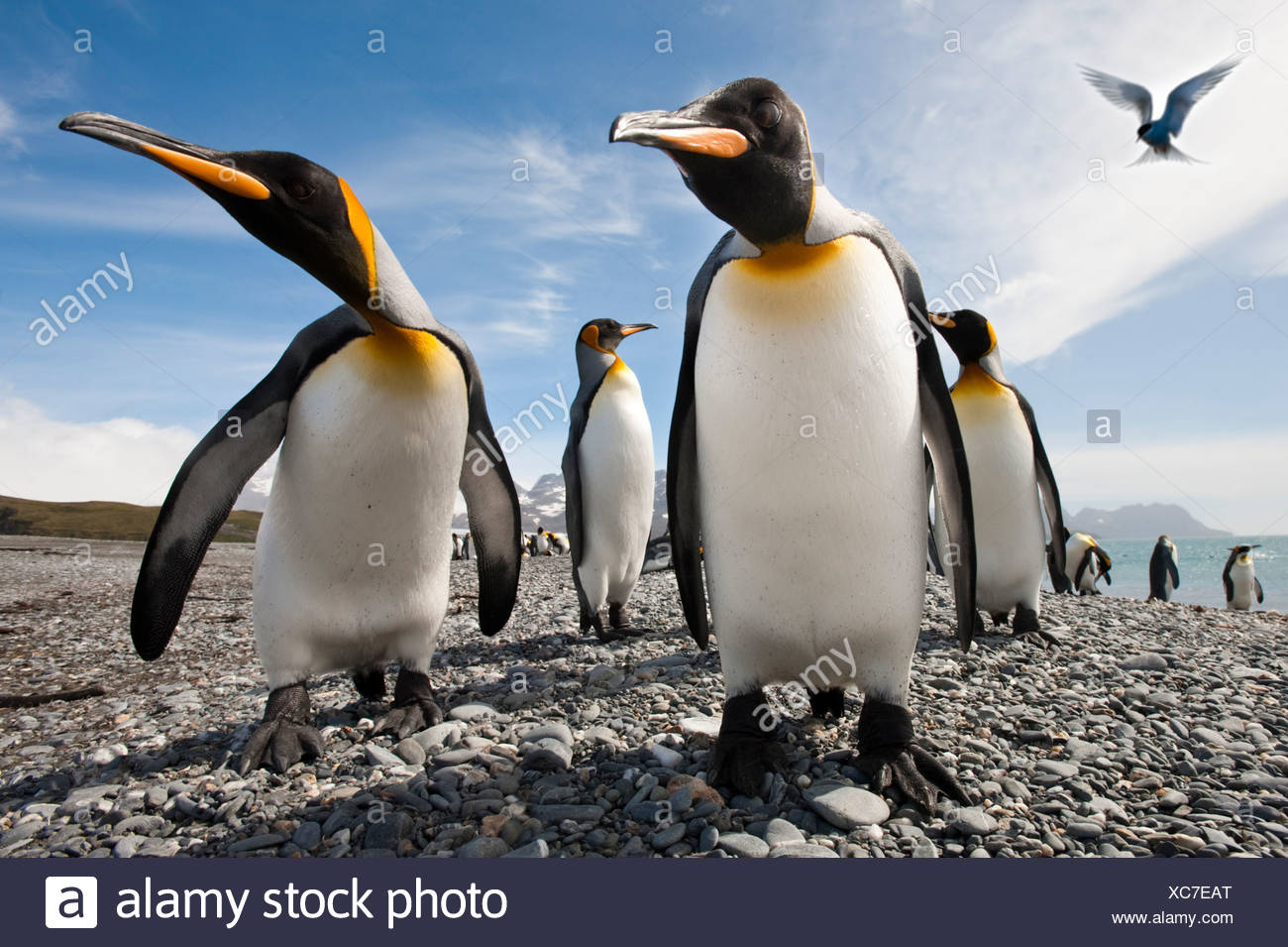 King Penguins on the beach at Salisbury Plain, with Antarctic Tern hovering. South Georgia, South Atlantic. - Stock Image