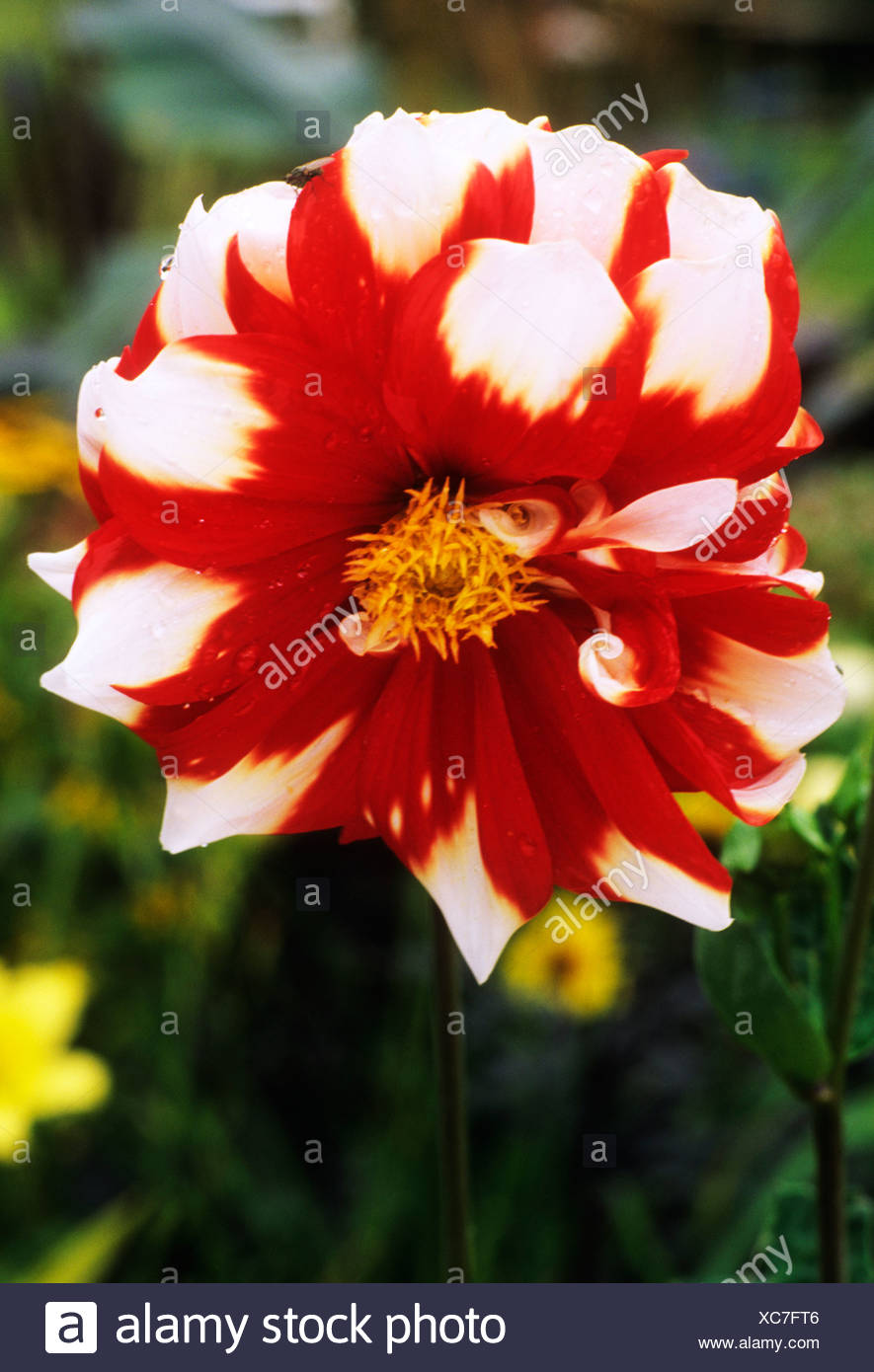 Dahlia Fire And Ice Red And White Flower Flowers Garden Plant