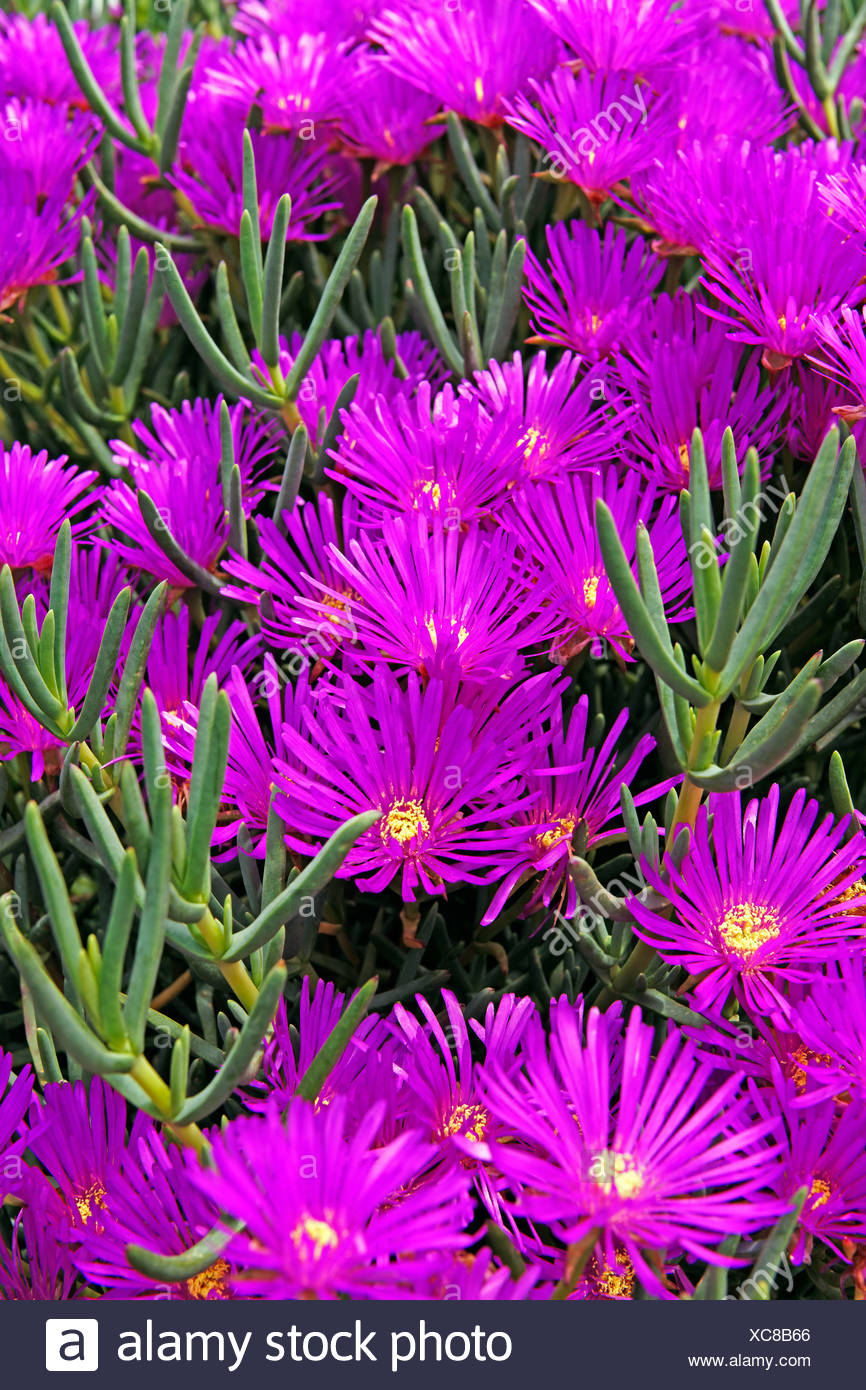 Europe, Portugal, Republica Portuguesa, Madeira, Camacha, Largo Conselheiro Aires de Omelas, midday flowers, plants, flowers - Stock Image