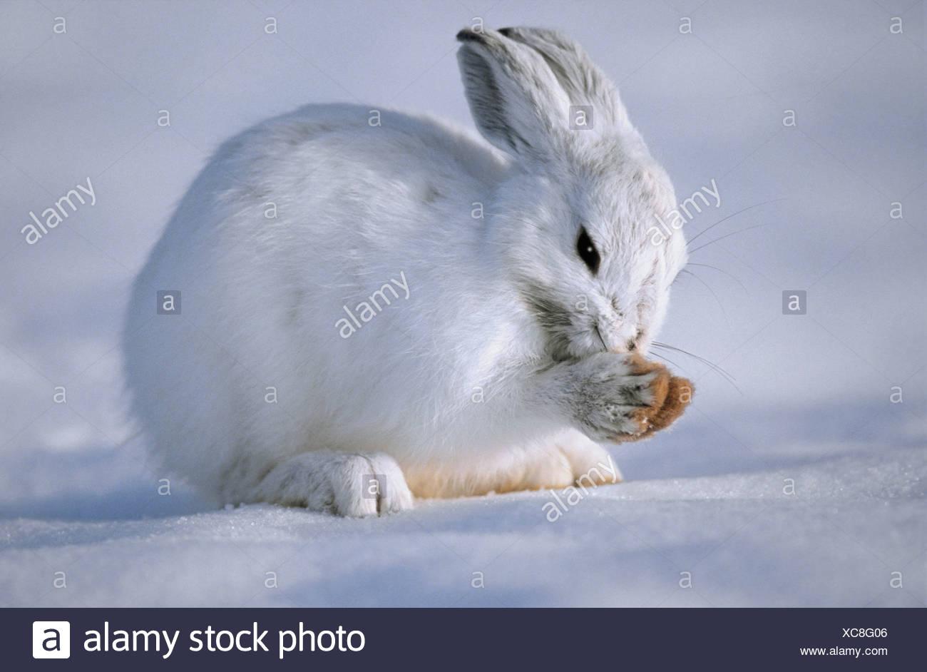 Tk0586, Thomas Kitchin; Snowshoe Hare In Winter Coat. Camouflage In Snow. North America. Lepus Americanus. - Stock Image