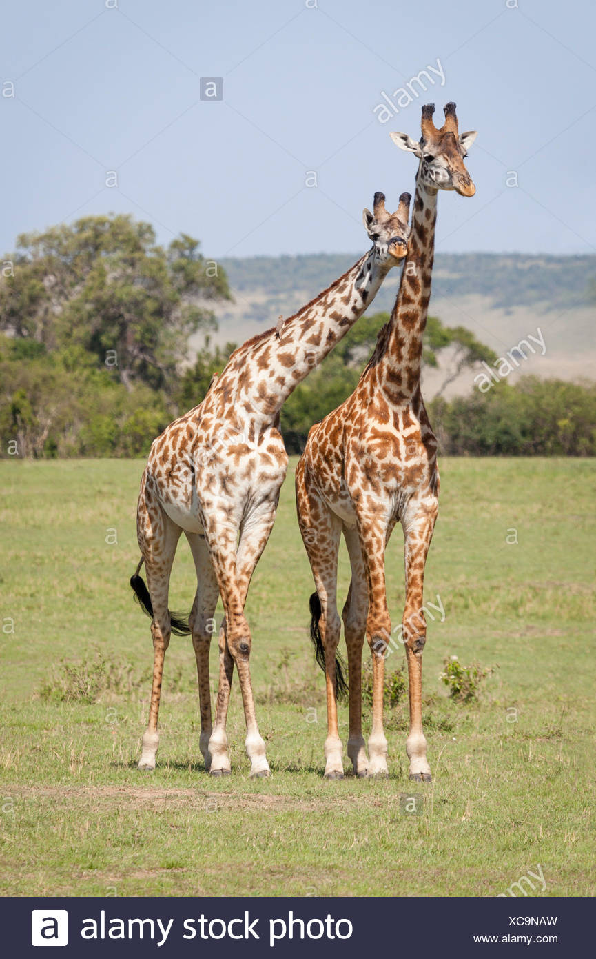 friendship giraffe sympathy - Stock Image