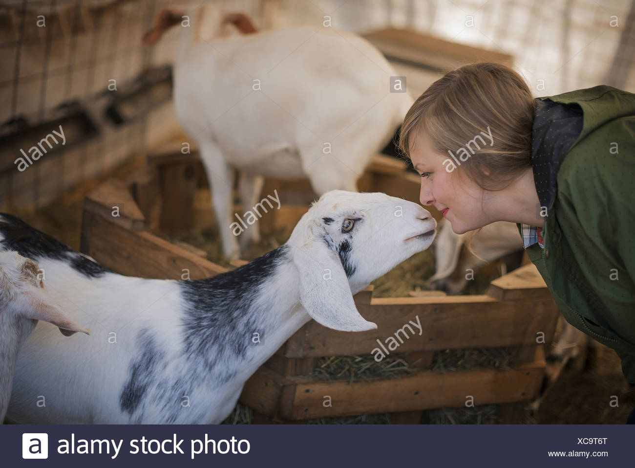 A woman in a stable on an organic farm White and black goats - Stock Image