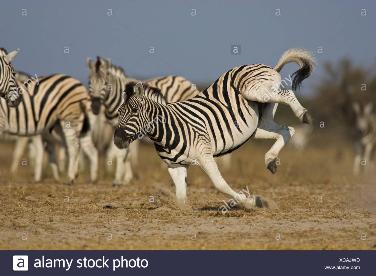 Zebra kicking, Etosha National Park, Namibia. - Stock Image