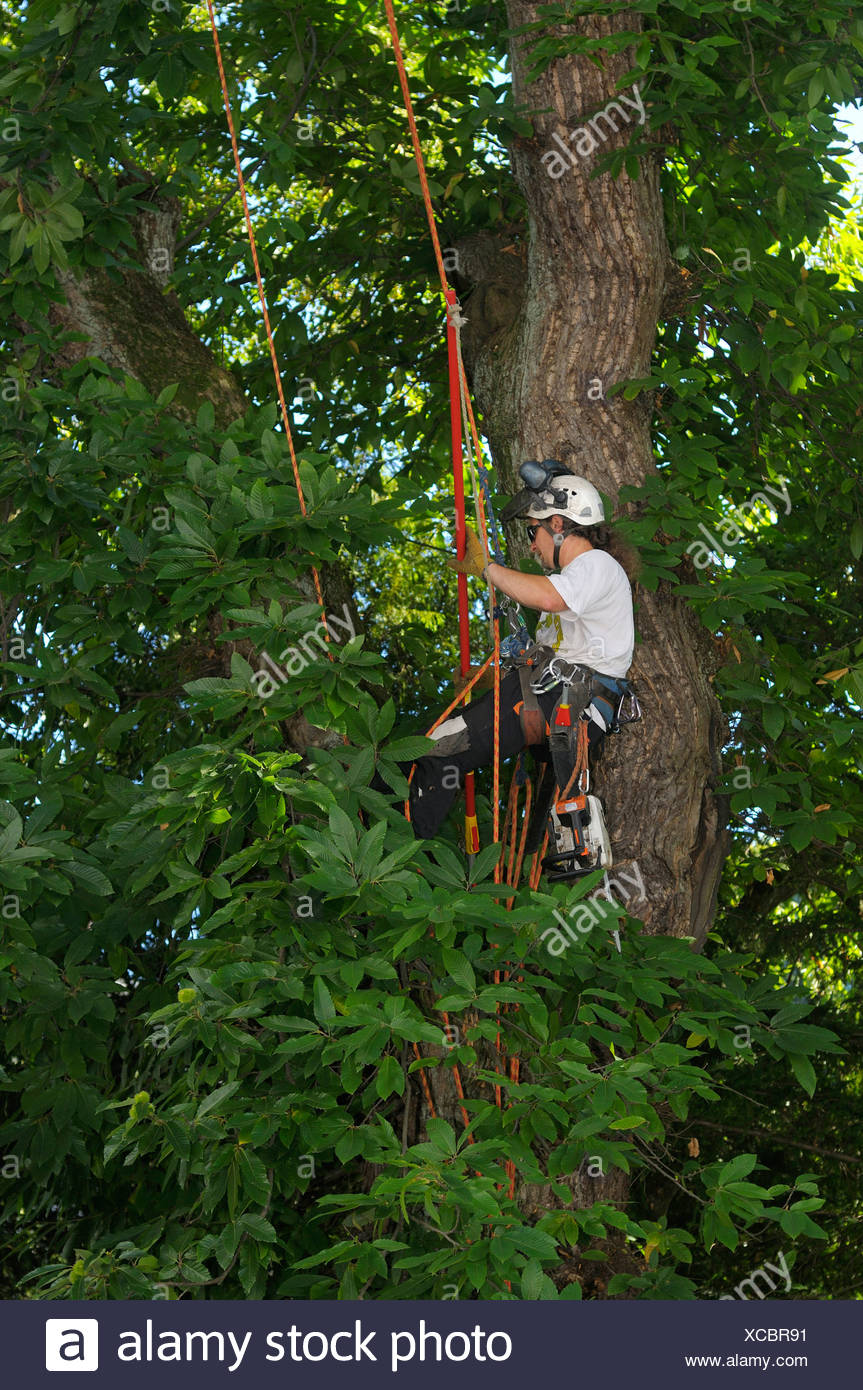 Rope climbing technique, tree care, man attending to a sweet chestnut tree, Sweet Chestnut (Castanea sativa miller) - Stock Image