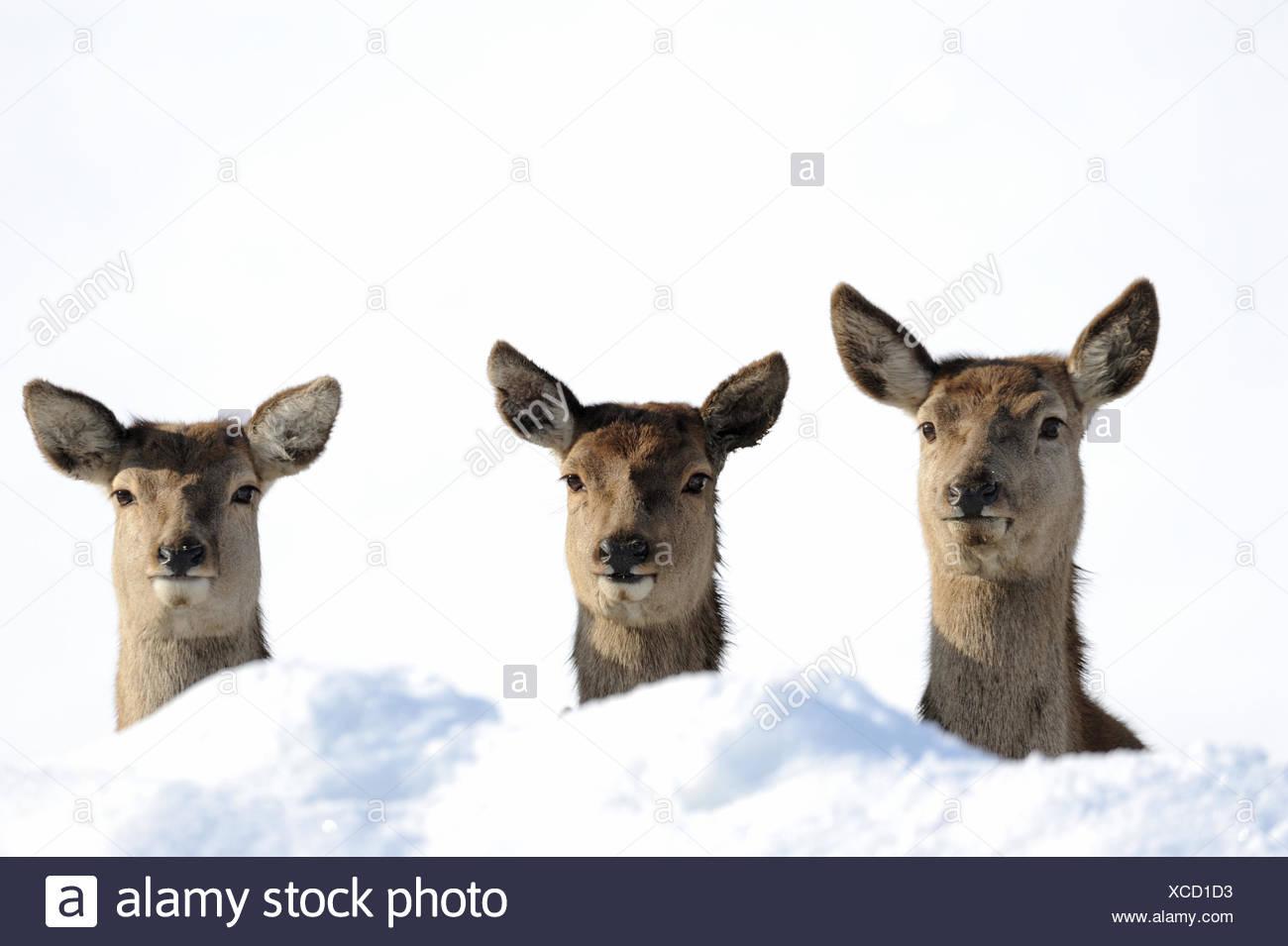 Red deer antlers antler Cervid Cervus elaphus deer stag stags hoofed animals summers velvet autumn snow animal animals Germ - Stock Image