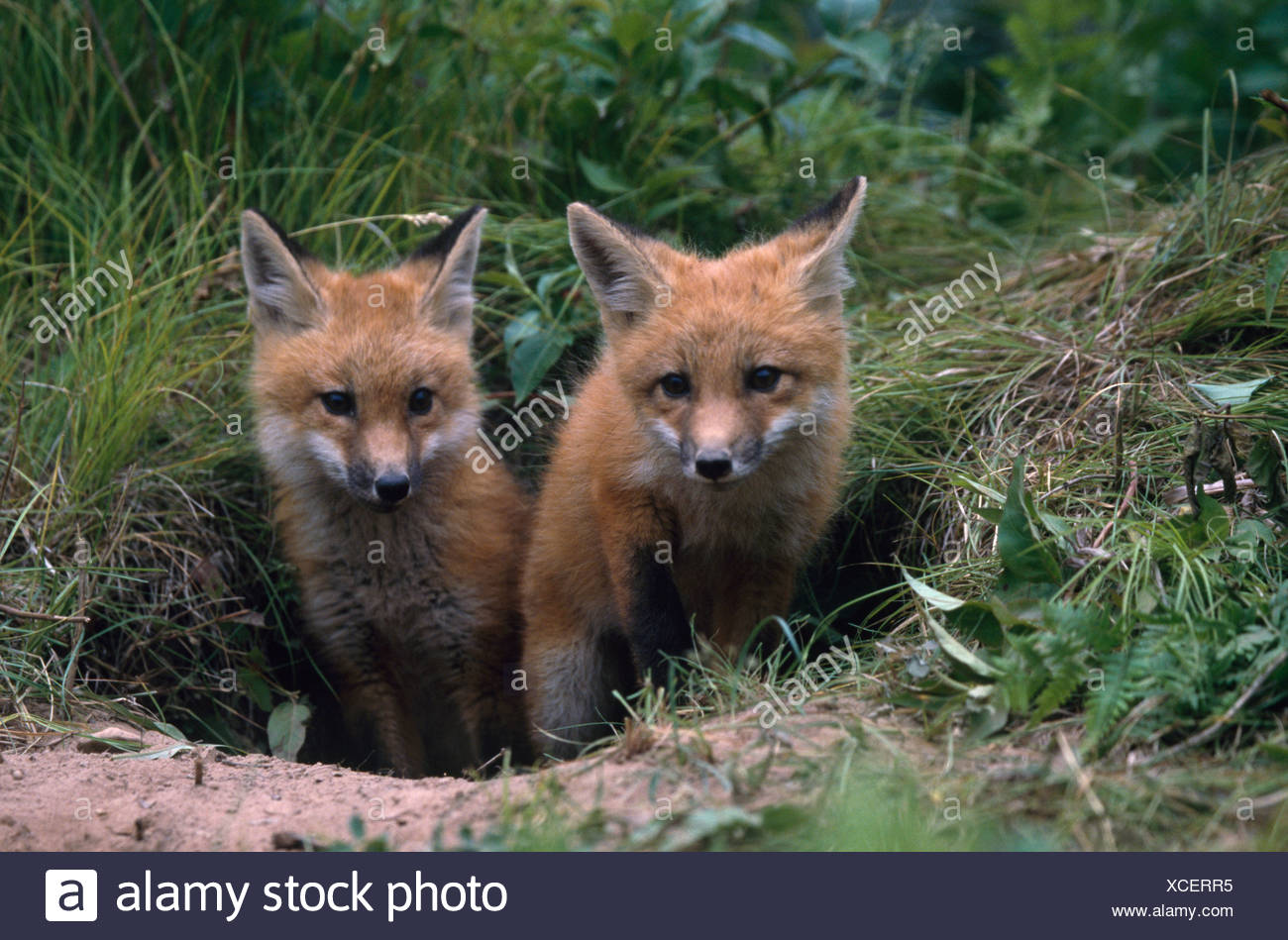 Close-up of two Red Fox pups standing out of their den (Vulpes vulpes) - Stock Image