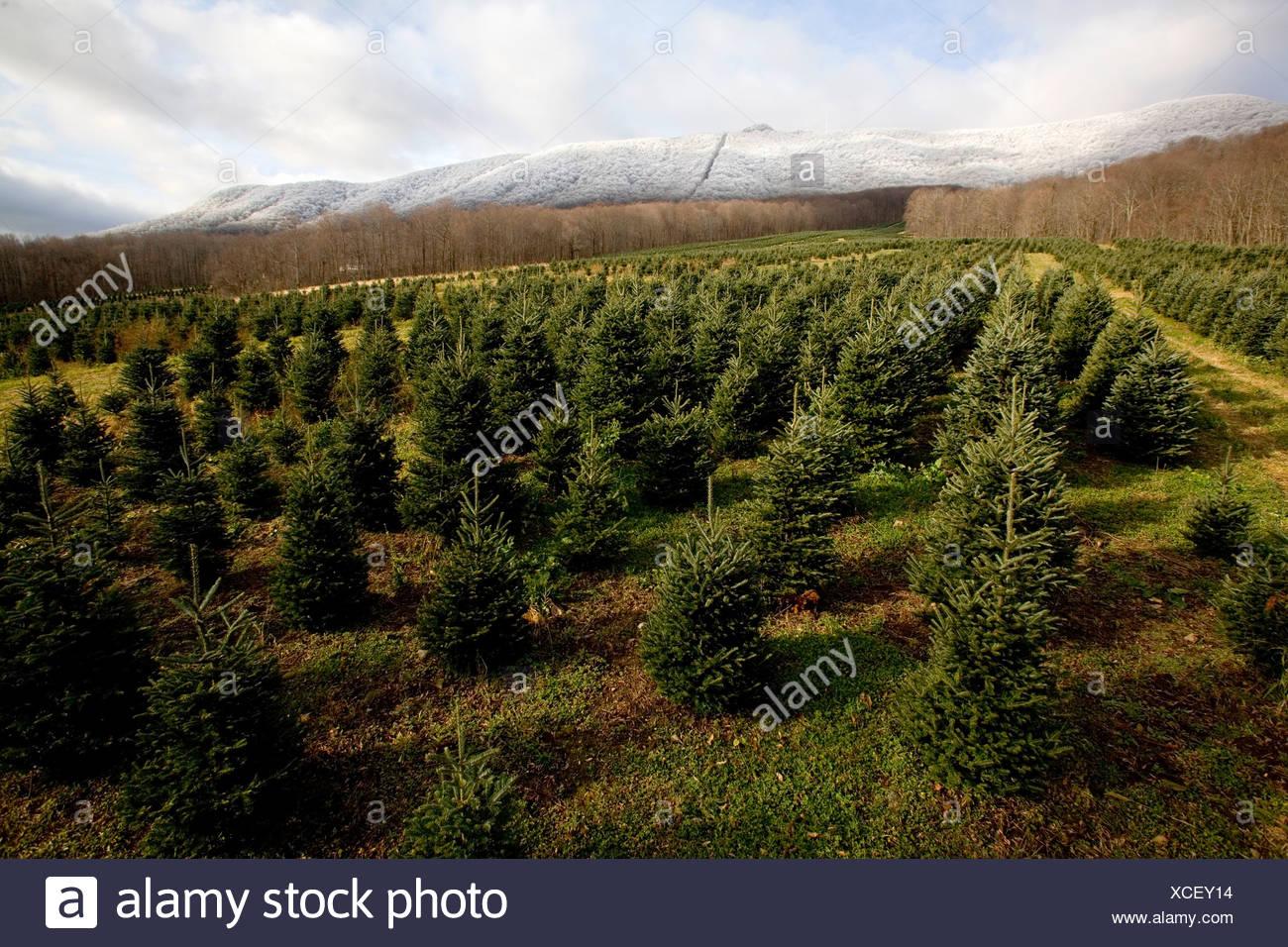 A Christmas Tree Farm In Zionville North Carolina Stock Photo