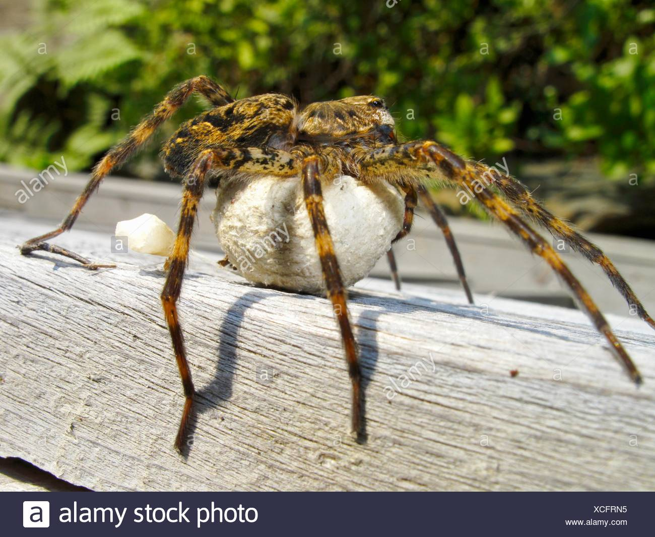 A gigantic North American species of fishing spider that is protecting a ball of eggs underneath it - Stock Image