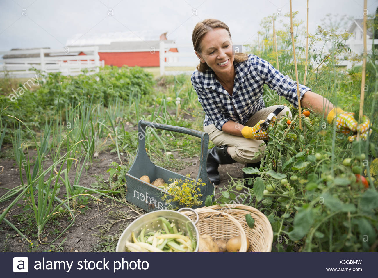 Smiling senior woman harvesting vegetables - Stock Image