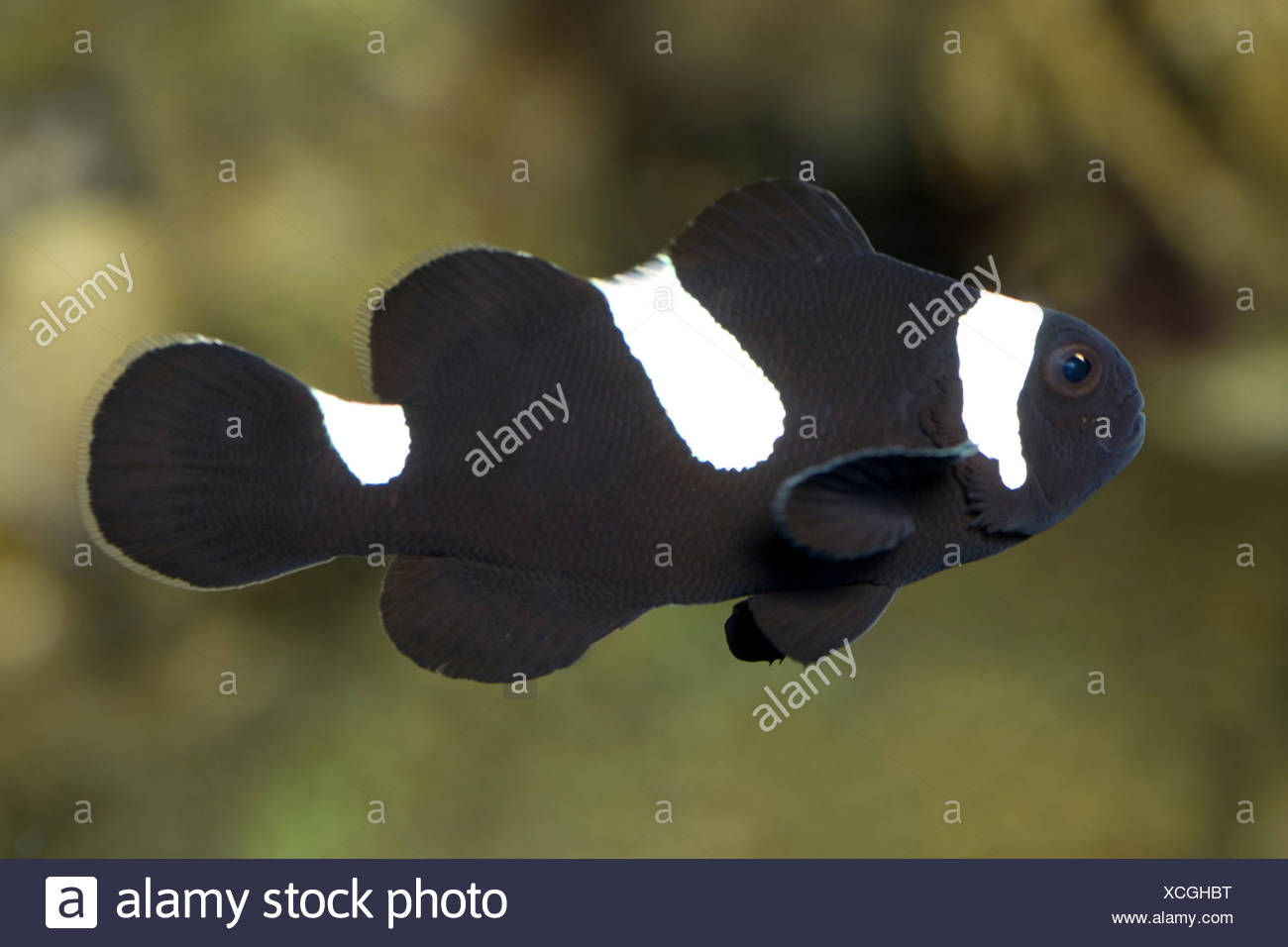 ocellaris clownfish black version amphiprion ocellaris stock